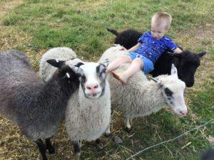 hiidenniemi lampaat ja poika